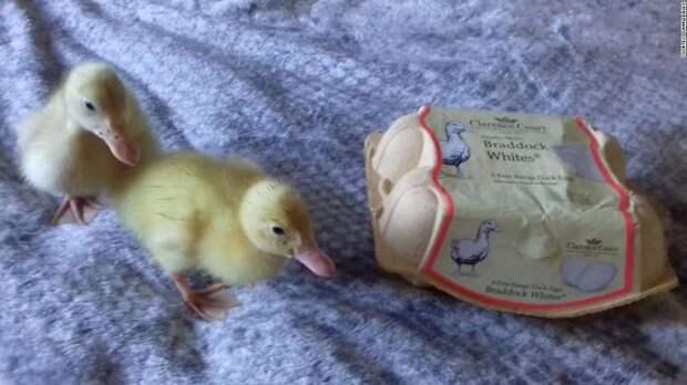 Девушка купила яйца в супермаркете. Теперь у нее есть 3 домашних утенка