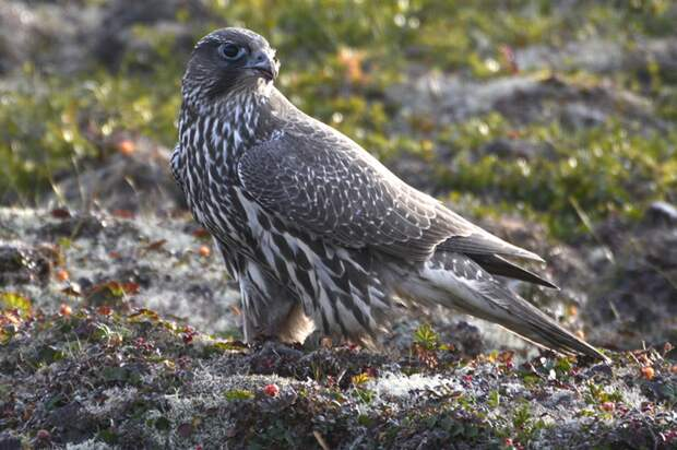 Залетевший на остров молодой кречет. Фото ИванаМизина.