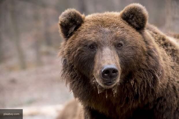 Как гималайских медведей используют в политических играх в Хабаровске