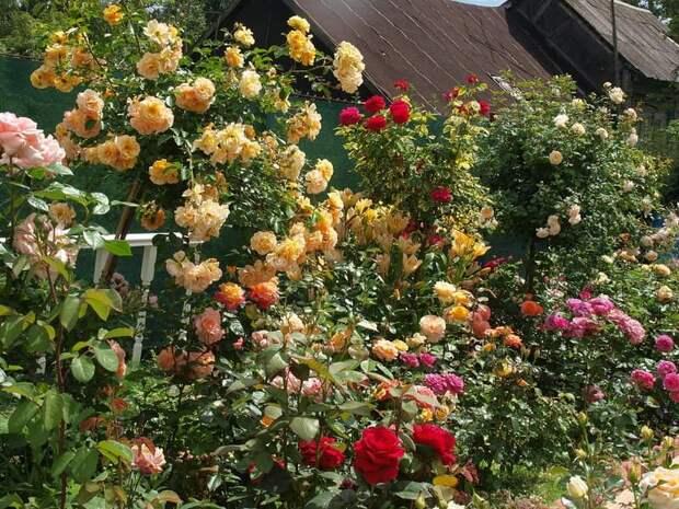 Как обновить старые розы на участке, которым более 10 лет?