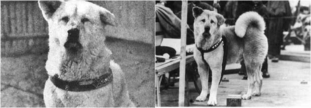 Реальные исторические фотографии Хатико и история о самом верном друге