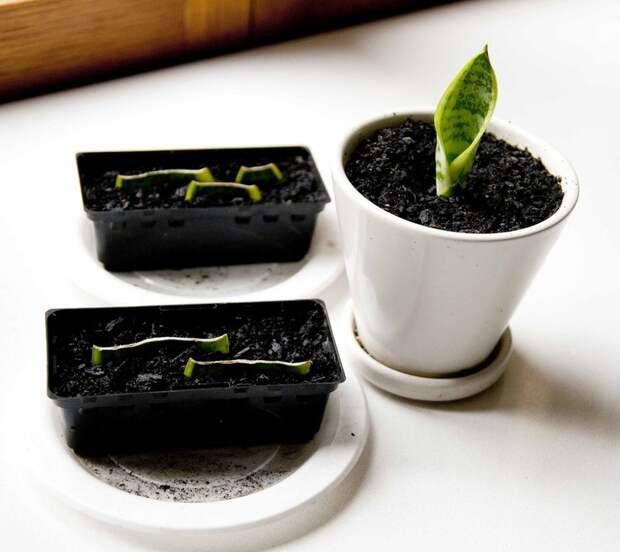 Как правильно укоренять черенки комнатных растений