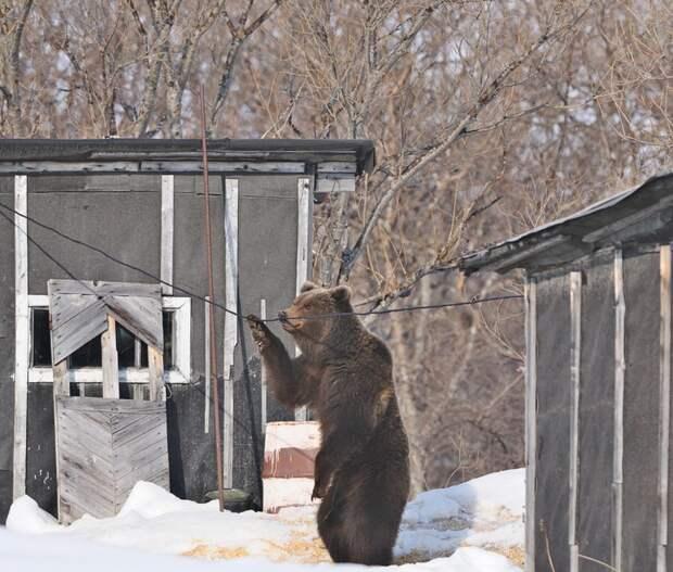Медведь и его лапы