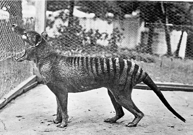 Последний тасманийский сумчатый волк в австралийском зоопарке. 1935 год / Фото: indicator.ru