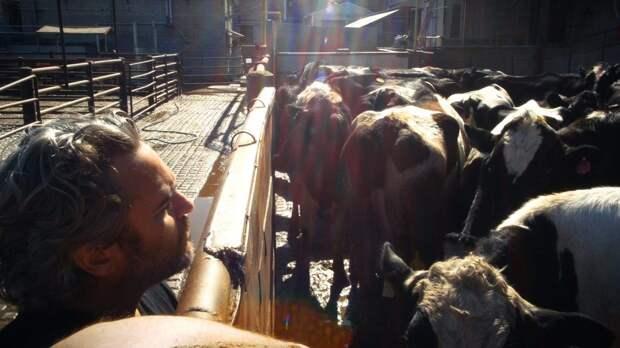 Хоакин Феникс спас корову и телёнка, забрав их со скотобойни