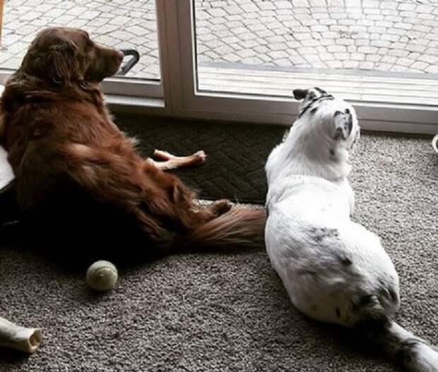 Собаки возле окна