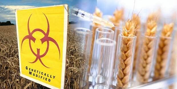 Грозит ли Кубани генномодифицированная пшеница?