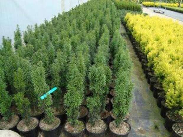 Ягодный тис Это самое популярное растение в средних широтах.