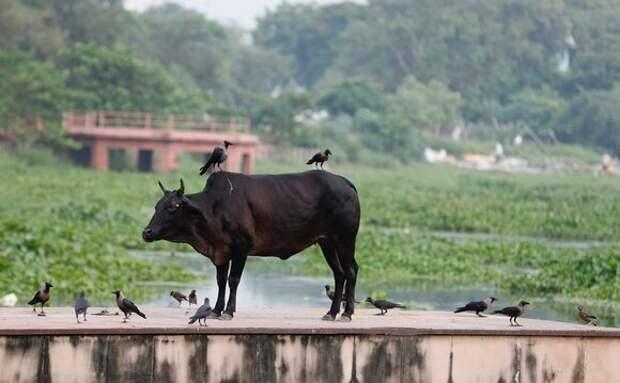 В Индии арестовали мужчину по закону о защите коров