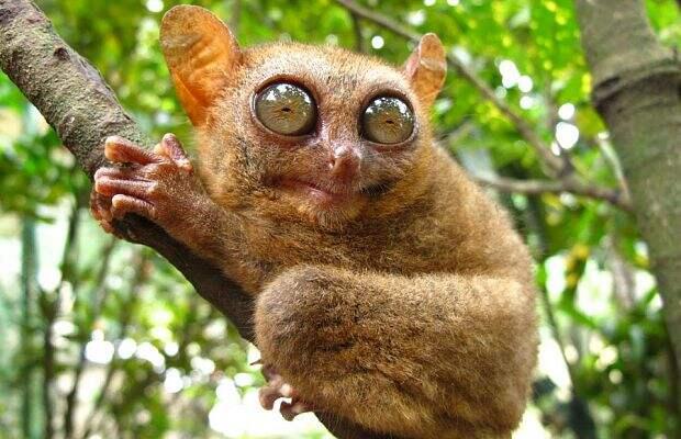 Долгопяты (приматы изрода Tarsius)— большие романтики. Период ухаживания уних длится долго, апартнершу они чаще всего выбирают одну, иногда— сразу несколько, новсегда наболее-менее постоянной основе. Вэтом они похожи налюдей. Возможно, бакулюма удолгопятов, как иучеловека, нет именно из-за такого подхода кразмножению.