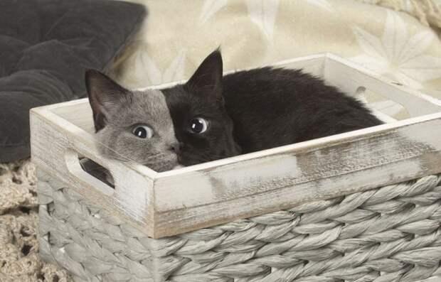 Котенок- химера превратился в роскошного кота. Потрясающие снимки!