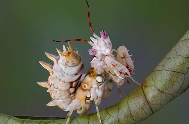 Шипастый цветочный богомол (здесь и далее некоторые представители вида)