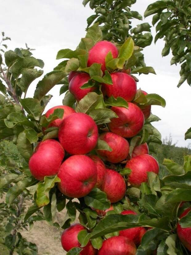 Колоновидные яблони — особенности, лучшие сорта, выращивание