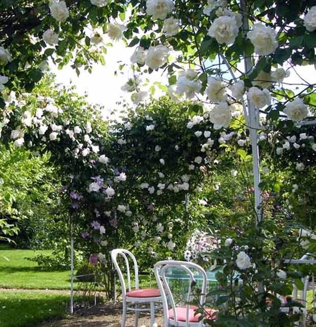 плетистые розы в саду фото