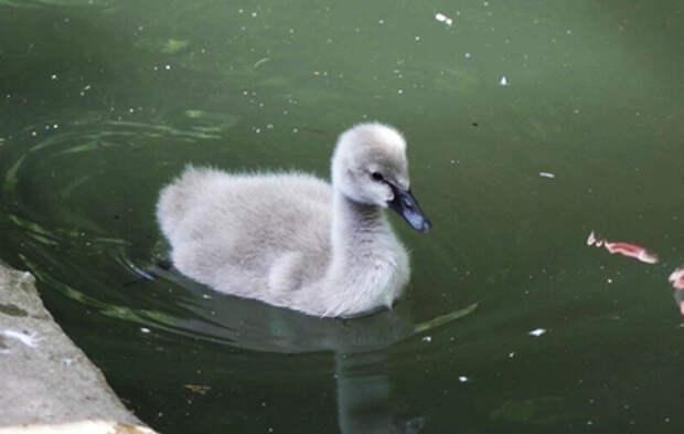 В Московском зоопарке родился птенец черного лебедя