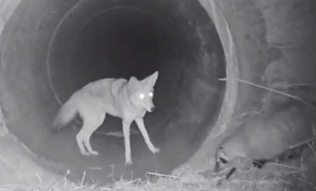 Барсук не мог перейти дорогу: на помощь пришел койот и показал путь