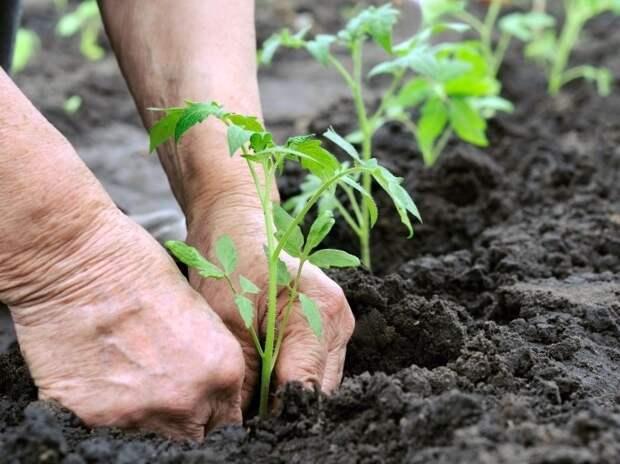 Когда пора сажать рассаду помидоров на постоянное место?