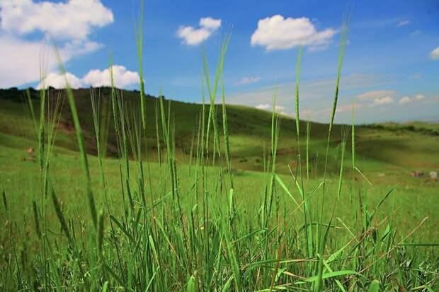 Пшеница интересное, овощи, происхождение, факты