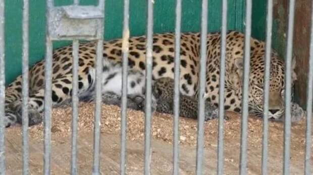 В Армавирском зоопарке родился детеныш леопарда