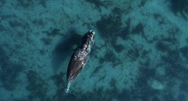 Отказавшиеся мигрировать на зиму киты возвестили о разрушении экосистемы Арктики