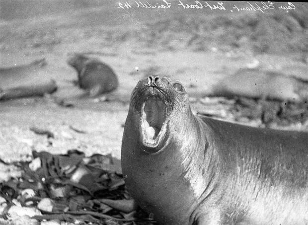 Самка морского льва, о. Маккуори Австралийская антарктическая экспедиция, антарктида, исследование, мир, путешествие, фотография, экспедиция