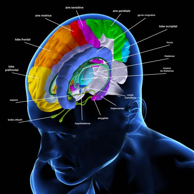 Нервные клетки мозга у пожилых людей восстанавливаются так же быстро, как и у молодых
