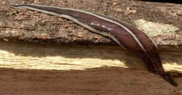 Как самые большие черви могут навредить природе? (4 фото)