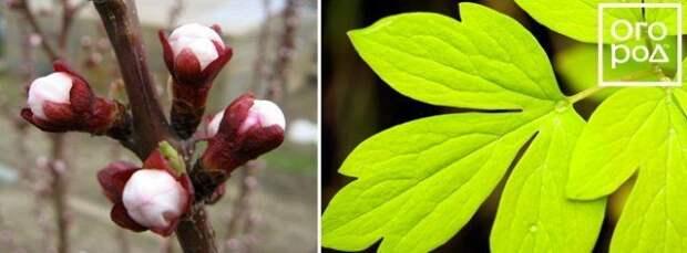 Набухшие почки и здоровый лист растений