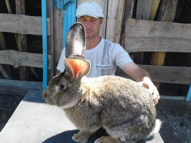 Фландр: Монструозный кролик размером с собаку! Почему он не стал переворотом в сельском хозяйстве?