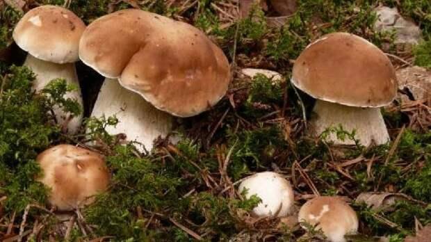 Какие грибы могут расти в березовых посадках