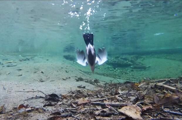 Благодаря копчиковой железе, которая выделяет жир, перья птицы не намокают во время ныряния.