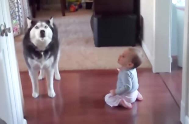 Забавный разговор малышки и собаки хаски