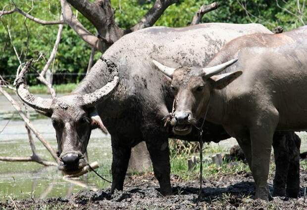 Самец и самка буйвола индийского: основные отличия