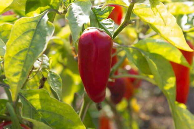 Хотите собирать обильные урожаи сладкого перца? Следуйте 7 правилам для открытого грунта и теплицы