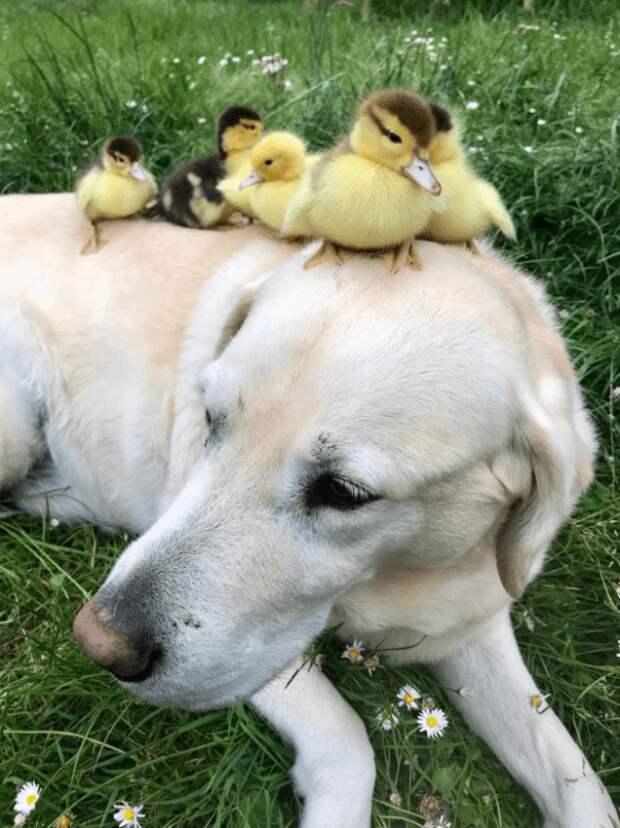 Что такое любовь и сострадание знакомо всем живым существам. Этот замечательный пес породы лабрадор тому подтверждение