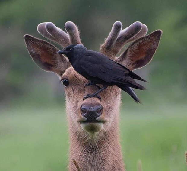 олень и ворона