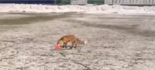 Лиса заглянула на поле стадиона «Янтарь» в Строгине