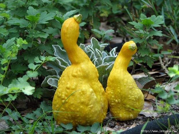 10294665-Unusually-Shaped-Veggies-and-Fruits-That-Look-Like-Something-Else-14-650-1466428998 (650x487, 244Kb)