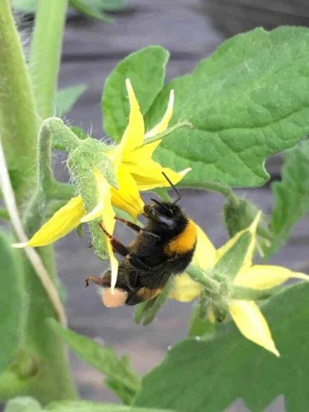 Полезный совет: средство для опрыскивания томатов во время завязывания плодов