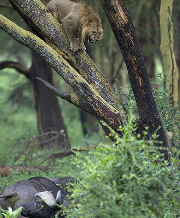 Лев вышел к буйволам и получил отпор: прошлось отсиживаться на дереве