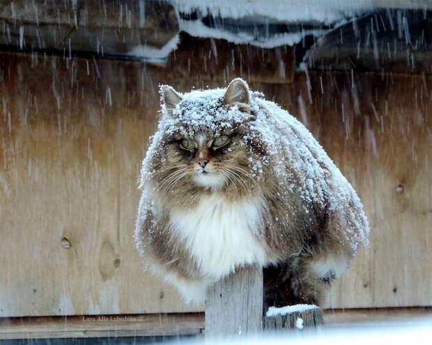 Сибирские кошки ждут весну в чудесных фотографиях Аллы Лебедевой