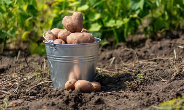 Картошка растет в ящике: ведро с куста