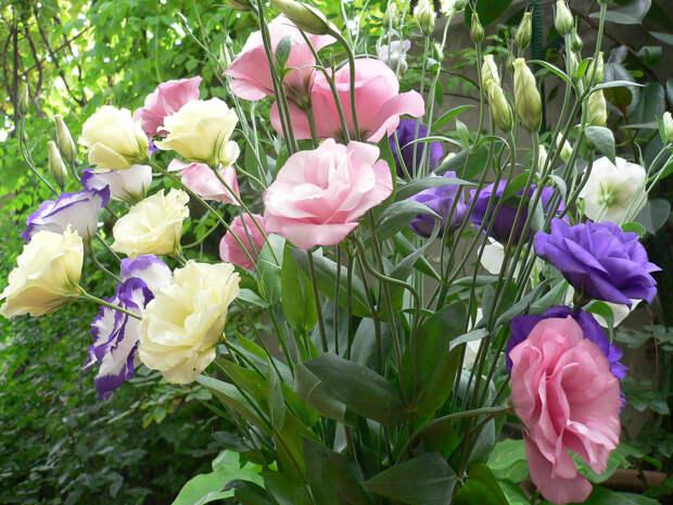 Эустома: от семян до цветков