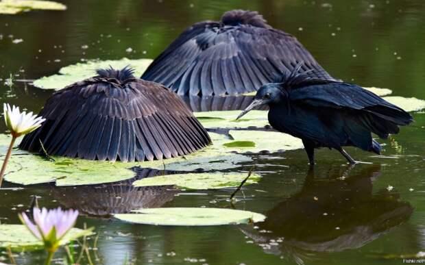 Чёрная цапля: Зачем эти птицы поднимают крылья над головой и стоят так в воде часами?