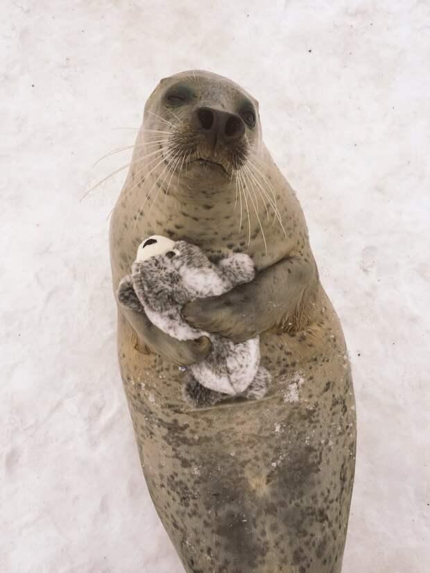 Тюленям из Японии подарили игрушечного тюленя. И они невероятно счастливы животные, милота, тюлень