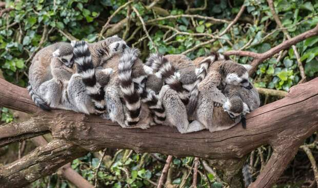 Лемуры живут в группах