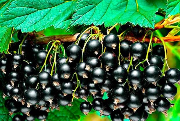Когда и как подкармливать смородину и крыжовник для хорошего урожая