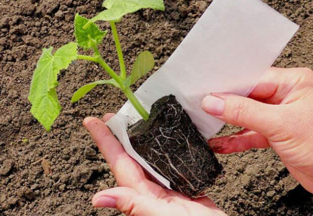 Огурцы прорастают за 12 часов: кладем семена в бумажное полотенце и оставляем на ночь