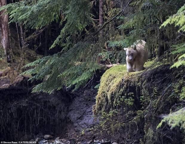В Канаде засняли редкого кермодского медведя за рыбалкой