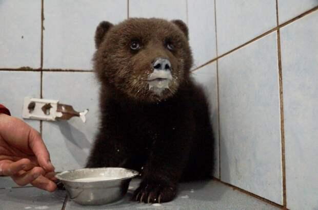 В Ленинградской области спасают раненого маленького медвежонка